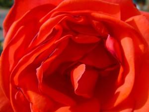 heart, rose