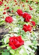 ingrid, Bergman, roses