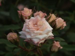 cahaya merah muda, mawar