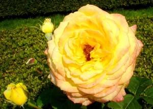 pairs, gynt, roses