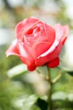 rose, rose, jardin