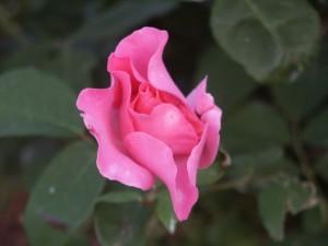rose, rose, vert