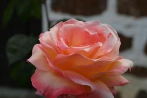 핑크, 장미, 산