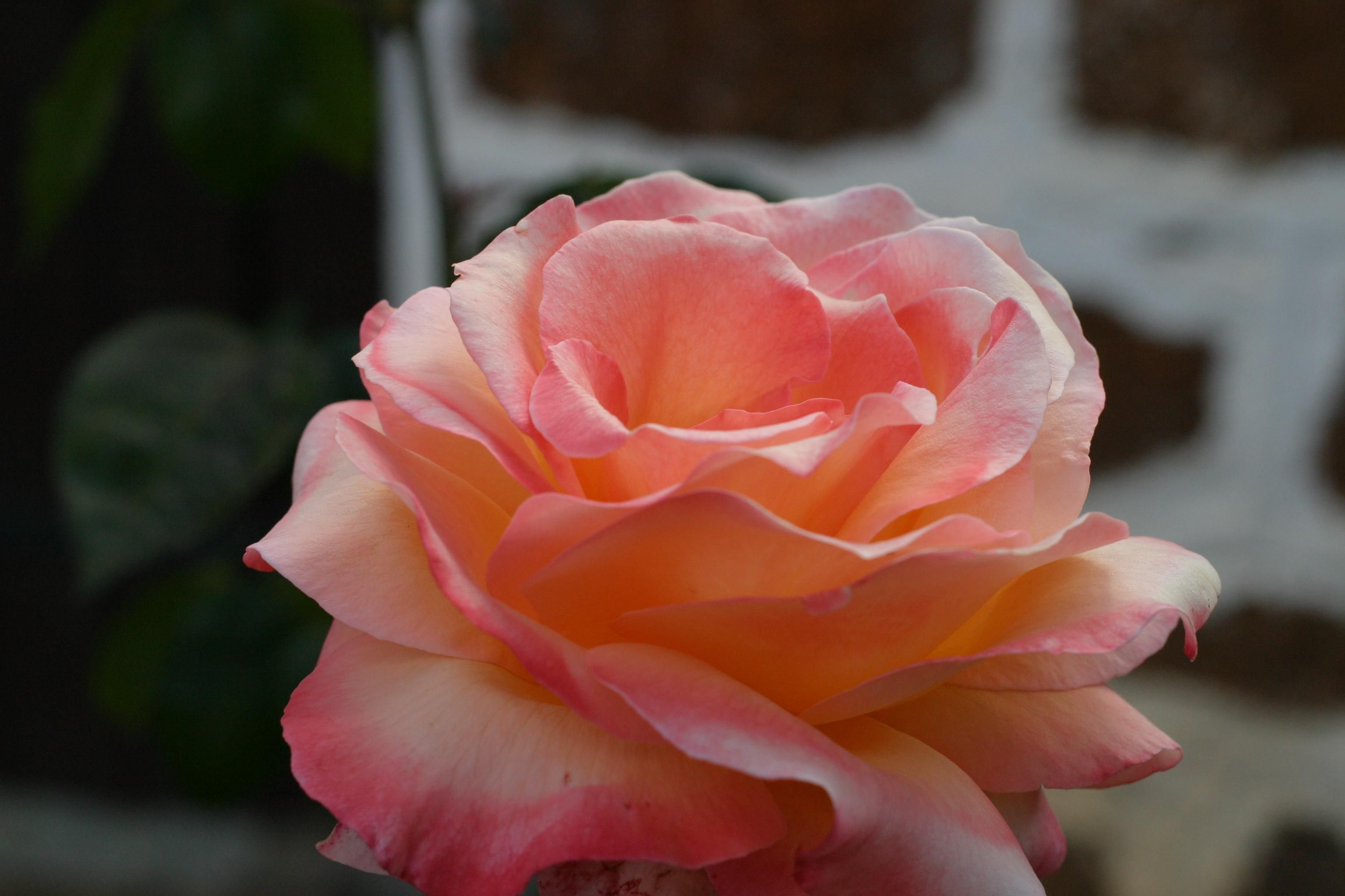 free picture  pink  rose  mountain