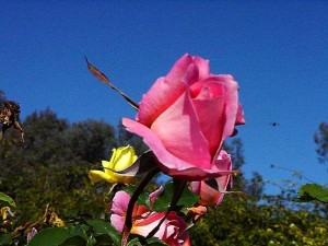 rose, roses, Balboa, parc