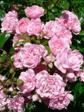 pink, roses, bush, garden