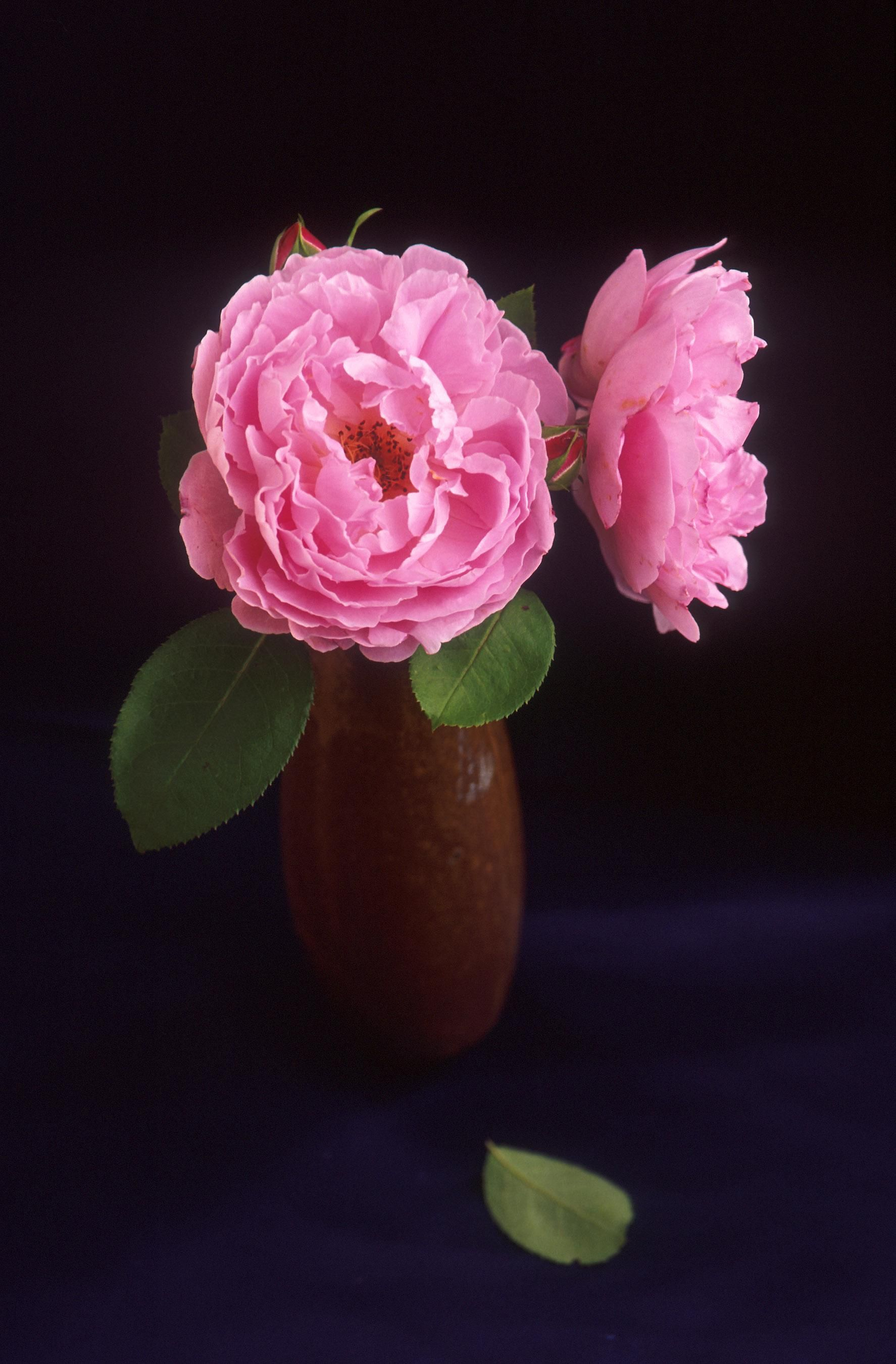 Free Picture Pink Roses Vase