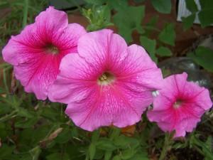 rose, trompette, fleurs