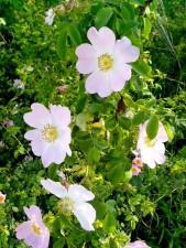 рожевий, дикий, троянди, квітка