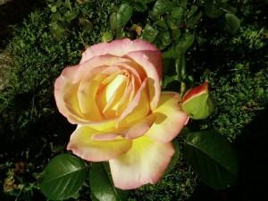 rose, jaune, rose, de près, papier peint