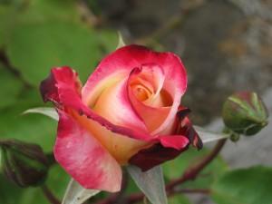 red, rose, bud