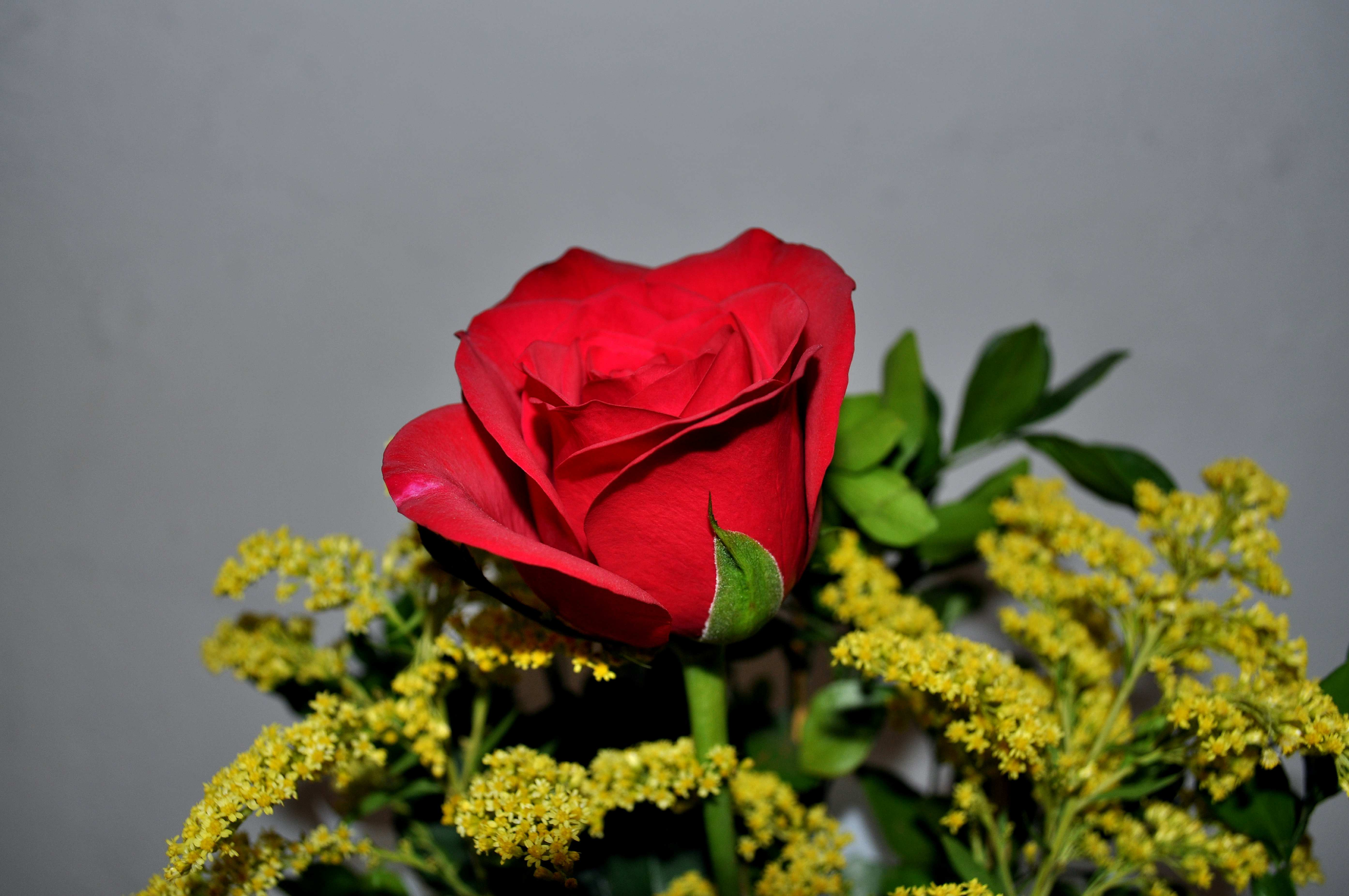 Free photograph; red, rose, close, bucket