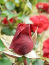 red, rose, flower, bud
