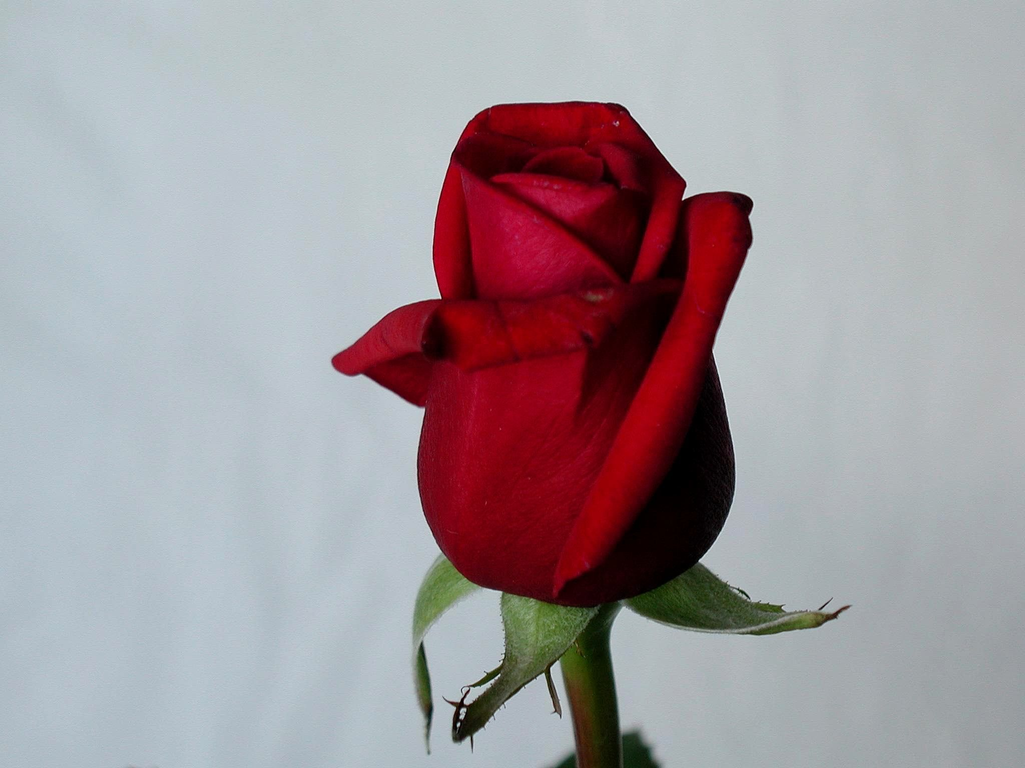 Single Red Rose Flower Stock Images: Free Picture: Red, Rose, Flower, Details, Imge
