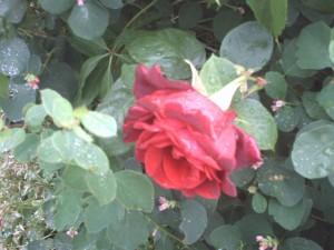 red, rose, garden
