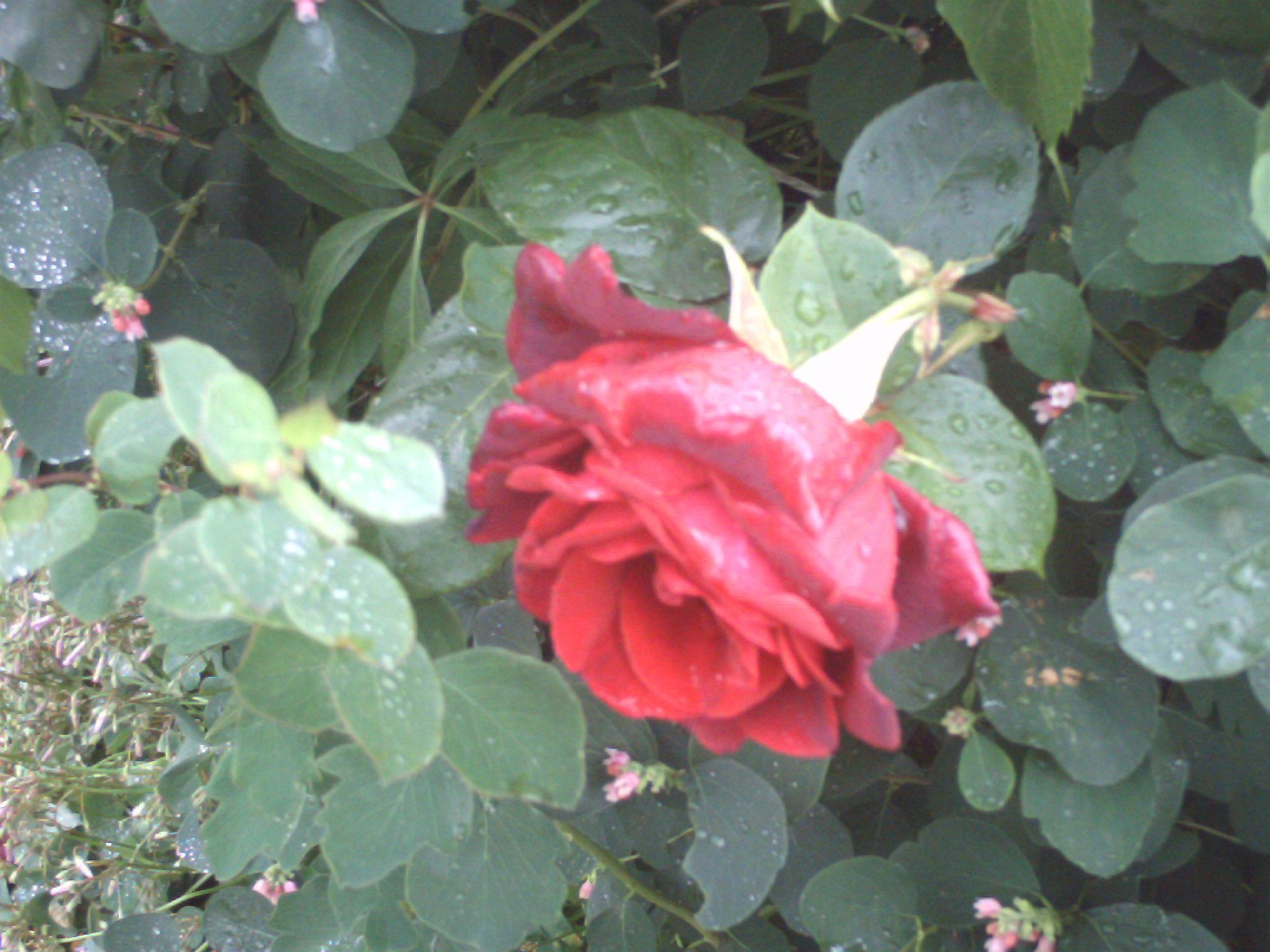 Free Picture Red Rose Garden