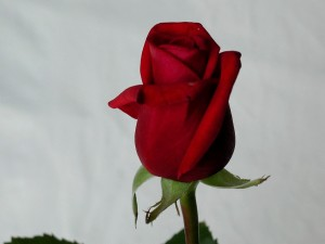 red, rose, stock, image