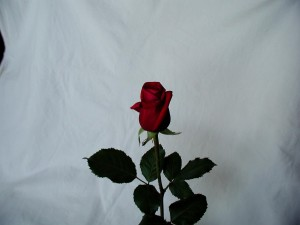 red, rose, stock, photo
