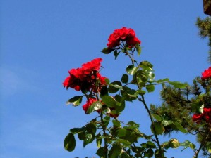 red, roses, sky