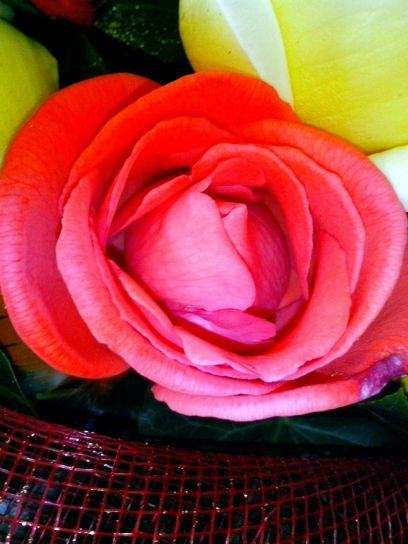 crvenkasto, ruža, cvatnje