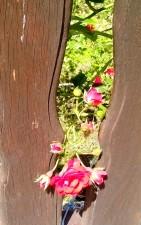 ruža, cvijet, između ograde