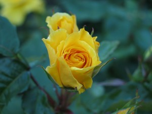 rose, flower, yellow