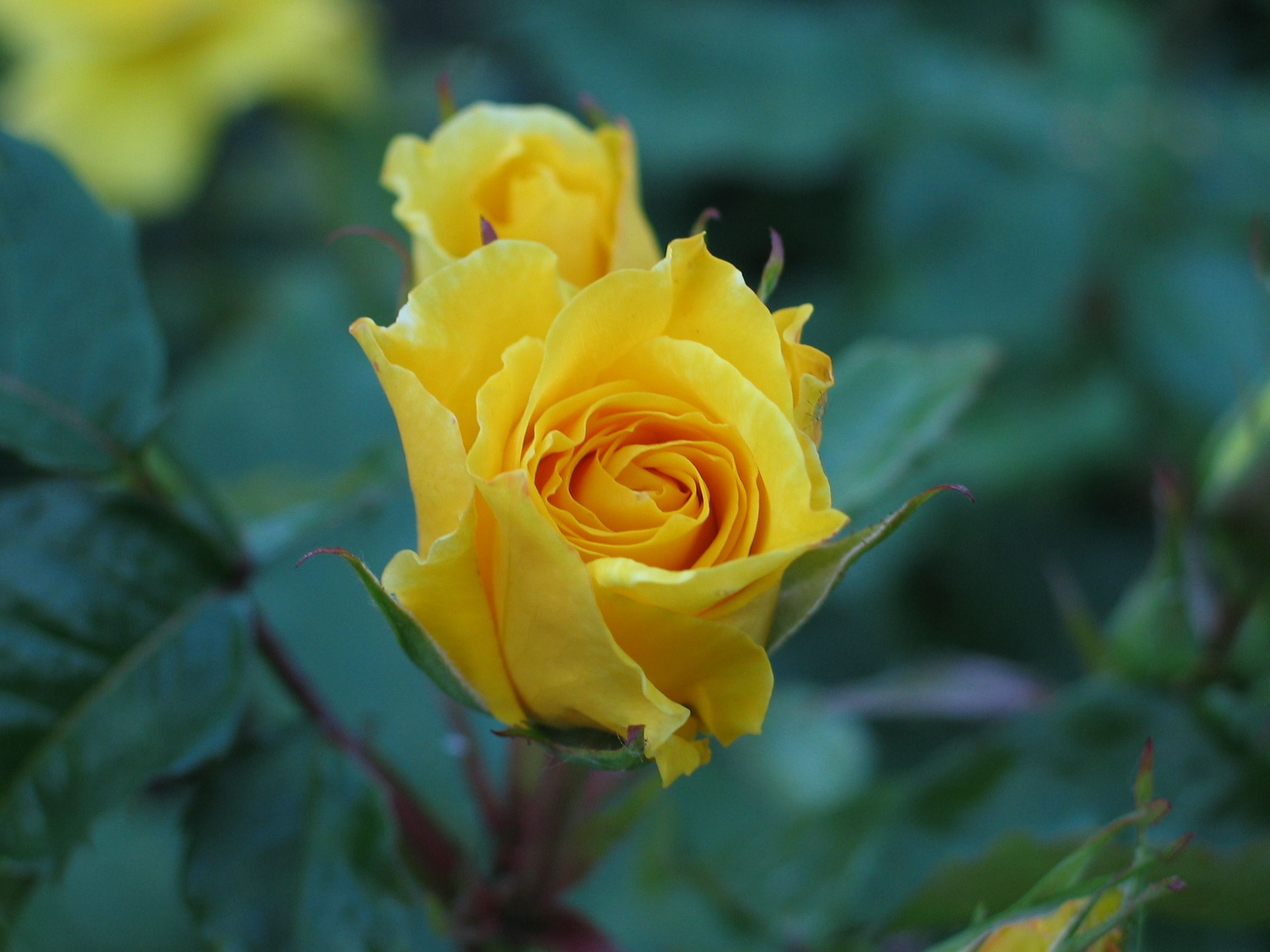 Free Picture Rose Flower Yellow