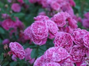 rose, garden