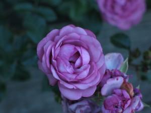 Purple ruže, Záhrada, kvety