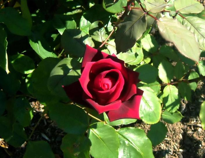 rose, park