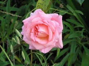rose, Angleterre