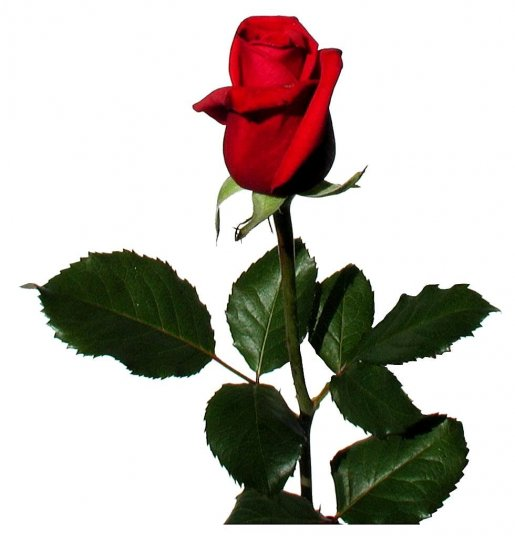 rose, white background