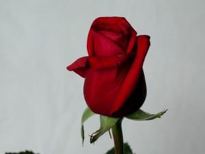 rose, photo