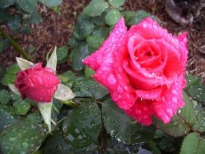 rose, pink, kardinal