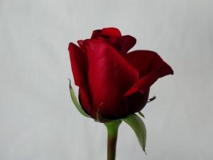 rose, red, details, image
