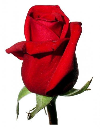kostenlose bild rose rot wei er hintergrund. Black Bedroom Furniture Sets. Home Design Ideas