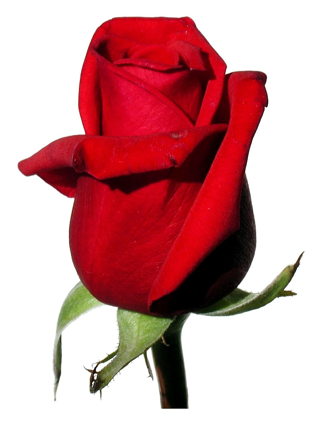 Free picture rose red white background rose red white background mightylinksfo