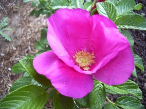 ruže, rosa rugosa, ružová