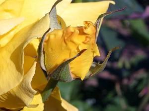 ruže, pupova, biljke, cvijeće