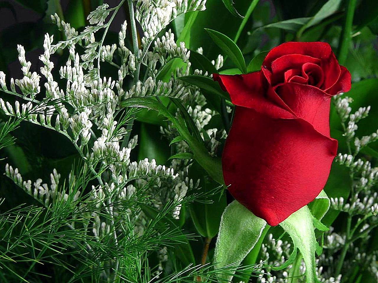 Free Picture Roses Red Green Beautiful Flowers