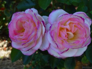 roses, jantes
