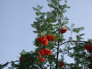 rowan, roses, flowers