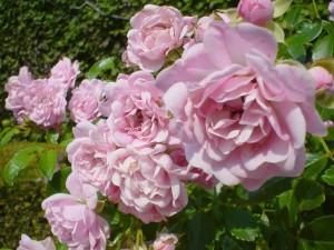 reine, Suède, roses