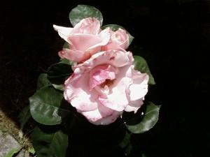 white, rose, shadow