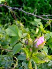 дикості, квітка, дикий, троянда, завод