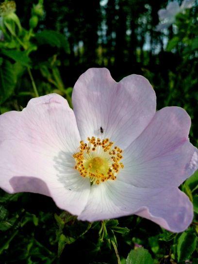 salvaje, perno, rosa, flor
