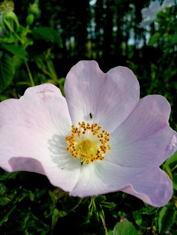 Free photograph; wild, pin, rose, blossom