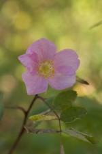 wild, rose