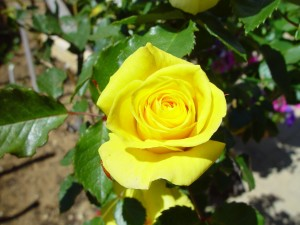 yellow, rose
