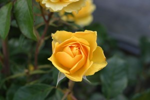 yellow, rose, flower